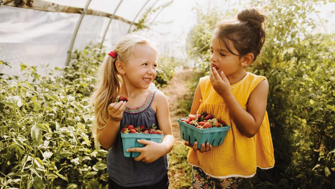 Two young girls eating healthy and nutritious strawberries in a greenhouse.